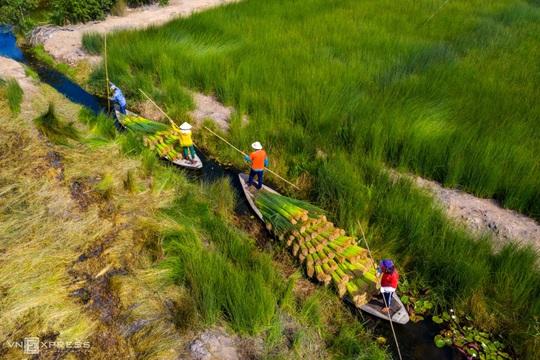 Mùa gặt cỏ bàng miền Tây - Ảnh 9.