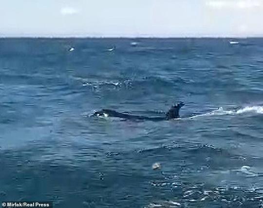 Cá voi sát thủ bao vây, tấn công dữ dội tàu thuyền ở Tây Ban Nha - Ảnh 3.