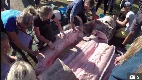 Cá voi sát thủ giết cá mập trắng lớn để ăn gan, tim và tinh hoàn - Ảnh 3.
