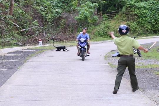 Voọc gáy trắng tấn công hàng loạt người: Bác phương án dùng chó nghiệp vụ xua đuổi - Ảnh 2.
