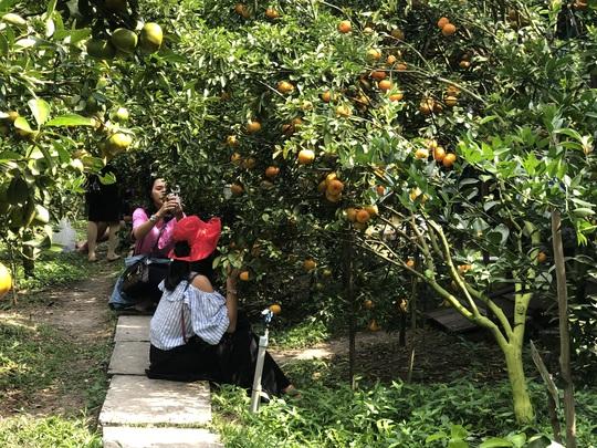 Mê mẩn với vườn quýt hồng chín rộ ở miền Tây - Ảnh 3.