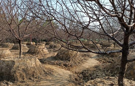 Đổ xô đi săn giống đào phai bung nở hàng chục cánh - Ảnh 8.