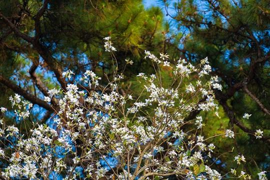 Mùa hoa ban trắng Đà Lạt - Ảnh 3.