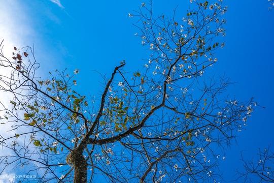 Mùa hoa ban trắng Đà Lạt - Ảnh 4.