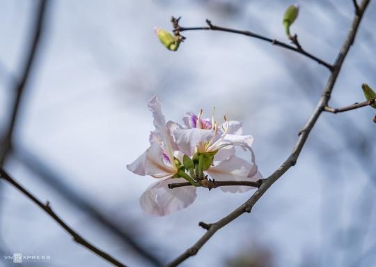 Mùa hoa ban trắng Đà Lạt - Ảnh 6.
