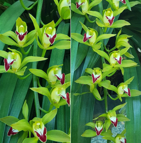 Hiếm có mùa Tết: Lan Trần Mộng siêu rẻ, 20.000 đồng/cành hoa dài cả mét - Ảnh 2.