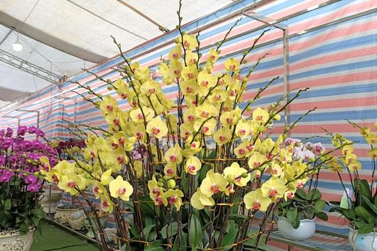 Hoa lan Trung Quốc tràn ngập, đắt đỏ ngang ngửa lan Đà Lạt - Ảnh 8.