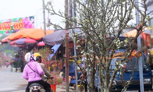 Người Hà Nội mạnh tay chi tiền triệu mua hoa lê trắng chơi sau Tết - Ảnh 4.