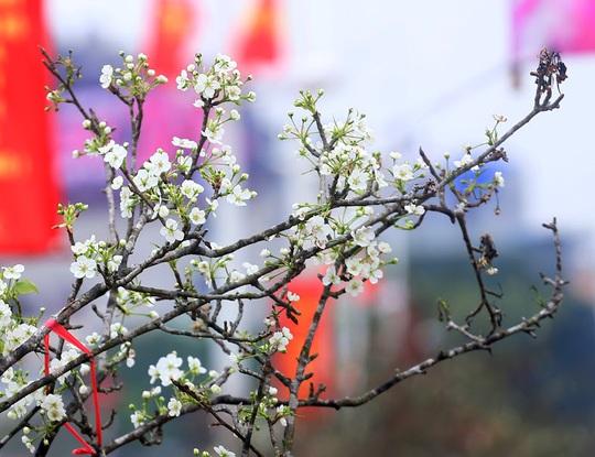 Người Hà Nội mạnh tay chi tiền triệu mua hoa lê trắng chơi sau Tết - Ảnh 2.