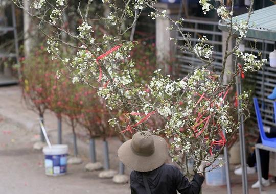 Người Hà Nội mạnh tay chi tiền triệu mua hoa lê trắng chơi sau Tết - Ảnh 3.
