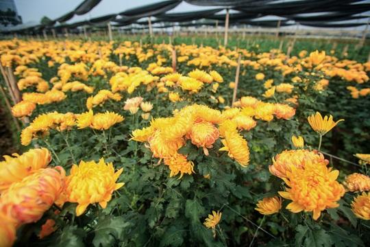 """CLIP: Ruộng hoa khô héo vì không bán được, dân trồng hoa """"gạt nước mắt cắt bỏ - Ảnh 12."""