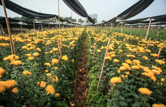 """CLIP: Ruộng hoa khô héo vì không bán được, dân trồng hoa """"gạt nước mắt cắt bỏ - Ảnh 11."""