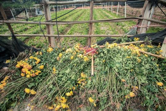 """CLIP: Ruộng hoa khô héo vì không bán được, dân trồng hoa """"gạt nước mắt cắt bỏ - Ảnh 7."""