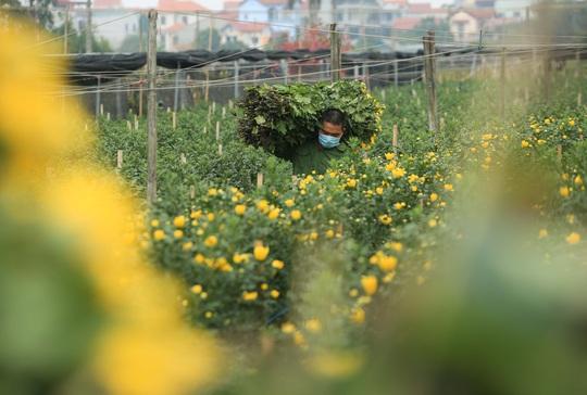 """CLIP: Ruộng hoa khô héo vì không bán được, dân trồng hoa """"gạt nước mắt cắt bỏ - Ảnh 15."""
