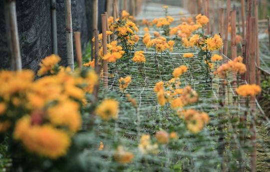 """CLIP: Ruộng hoa khô héo vì không bán được, dân trồng hoa """"gạt nước mắt cắt bỏ - Ảnh 10."""