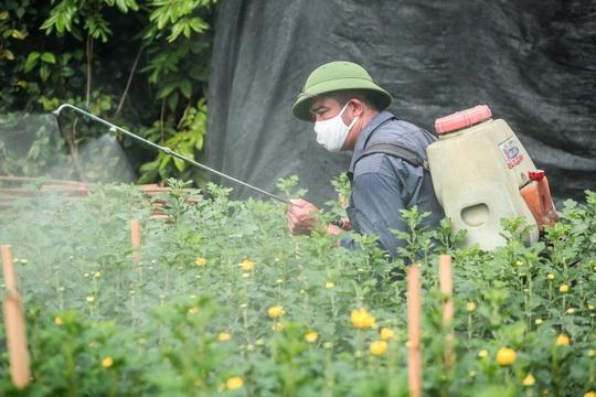 """CLIP: Ruộng hoa khô héo vì không bán được, dân trồng hoa """"gạt nước mắt cắt bỏ - Ảnh 13."""