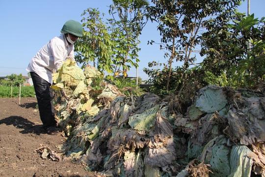 Nông dân nhổ bỏ hàng trăm tấn rau củ vì giá thấp, không người mua - Ảnh 1.