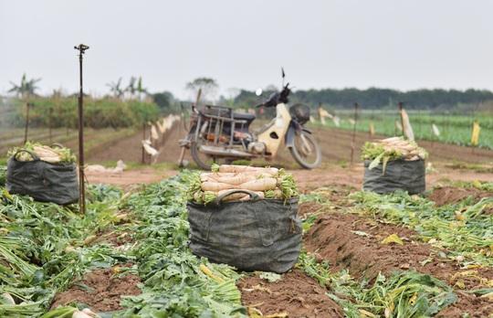 Cận cảnh người dân Hà Nội nhổ bỏ hàng trăm tấn củ cải vì không bán được - Ảnh 10.