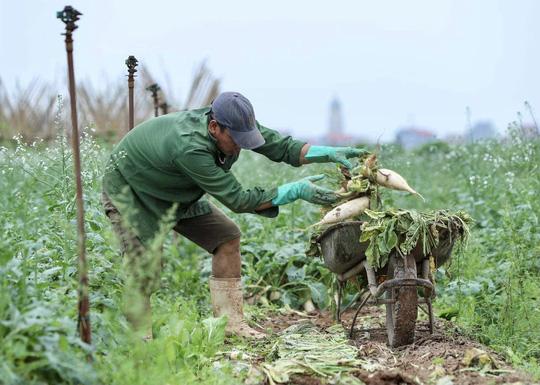 Cận cảnh người dân Hà Nội nhổ bỏ hàng trăm tấn củ cải vì không bán được - Ảnh 3.