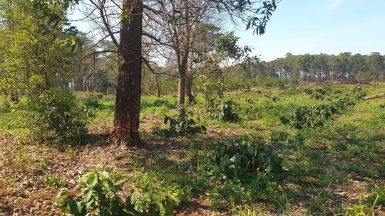 Lâm Đồng: Manh động ken gốc, đốt cây và đầu độc rừng còn đe dọa người dân phản ánh - Ảnh 7.