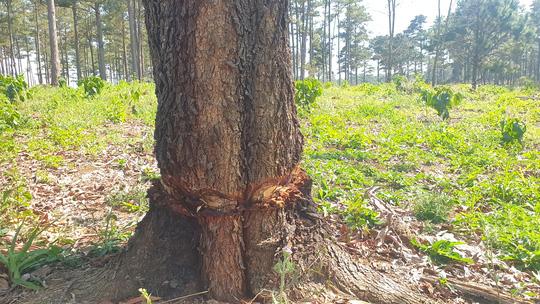 Lâm Đồng: Manh động ken gốc, đốt cây và đầu độc rừng còn đe dọa người dân phản ánh - Ảnh 3.
