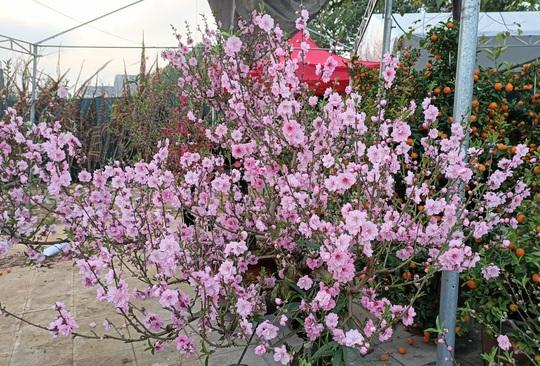 Gian hàng bán hoa đào độc lạ ở TP Thanh Hóa - Ảnh 4.
