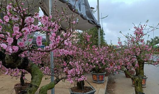 Gian hàng bán hoa đào độc lạ ở TP Thanh Hóa - Ảnh 8.