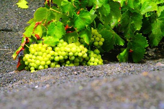 Làng rượu nho trên miệng núi lửa - Ảnh 1.