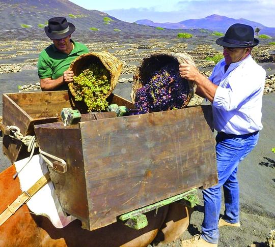 Làng rượu nho trên miệng núi lửa - Ảnh 2.
