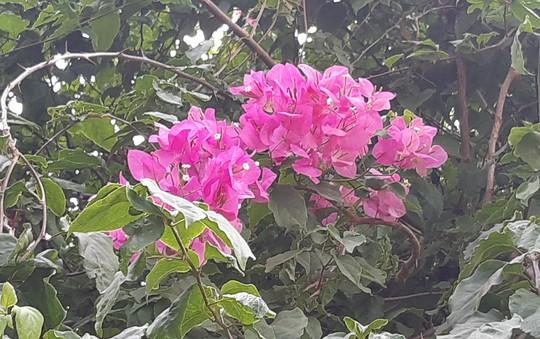 CLIP: Xót xa giàn hoa giấy tuyệt đẹp trong hoa viên bị cưa hạ - Ảnh 6.