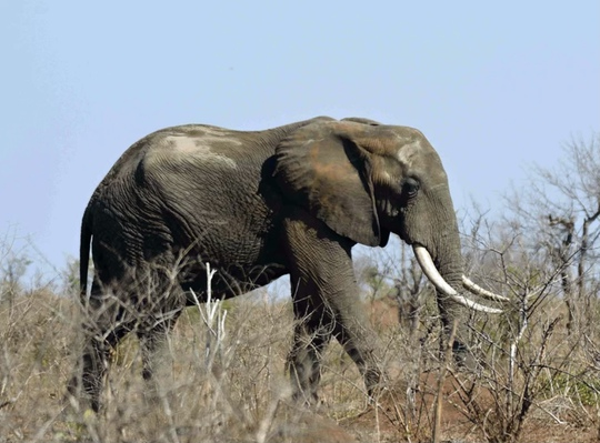 Trốn kiểm lâm gặp phải voi, kẻ săn trộm bị giẫm đạp tới chết - Ảnh 1.