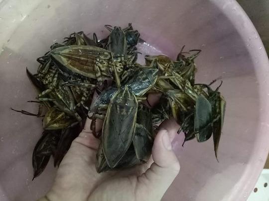 Loại côn trùng giống gián bán 3,5 triệu/kg, nhà giàu mua về hưởng thơm - Ảnh 2.