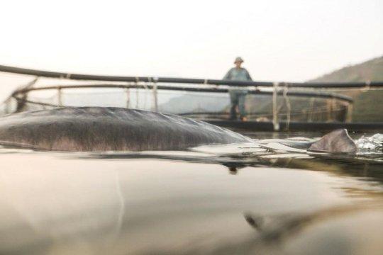 Cá tầm khổng lồ Beluga lần đầu xuất hiện tại Việt Nam - Ảnh 3.