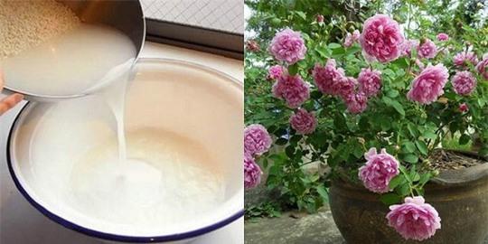 Ai cũng đổ nước vo gạo vì không biết 8 công dụng kỳ diệu này - Ảnh 2.
