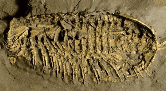 Phát hiện quái vật 500 triệu tuổi thở bằng chân, phủ vàng của kẻ ngốc - Ảnh 1.