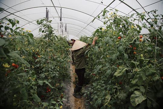 Trồng rau bằng smartphone, chị nông dân đều tay thu tiền tỷ - Ảnh 8.