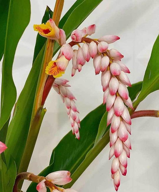 Hoa dại bờ bụi siêu đắt đỏ, mối buôn bán 2.000 cành/ngày - Ảnh 2.