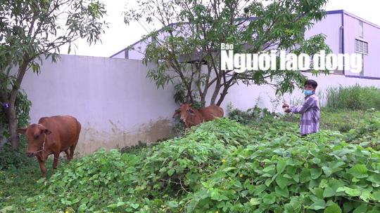 CLIP: Tóm được đối tượng trộm bò chuyên nghiệp ở Cà Mau - Ảnh 3.