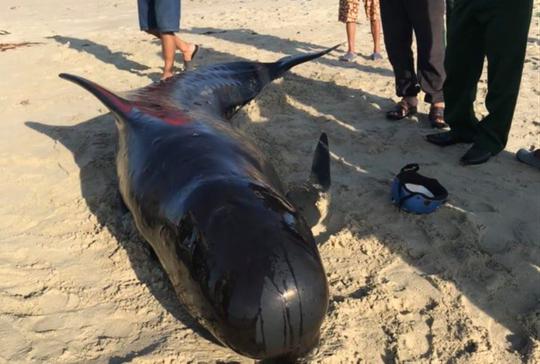 Cá heo nặng khoảng 2 tạ dạt vào biển Quảng Nam - Ảnh 2.