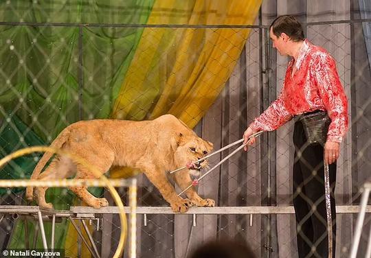Nghệ sĩ xiếc thú bị sư tử tấn công ngay trên sân khấu - Ảnh 5.
