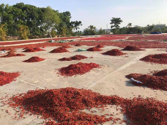 Giá ớt tiếp tục rơi tận đáy, người nông dân bỏ mặc ruộng ớt chín cây - Ảnh 2.