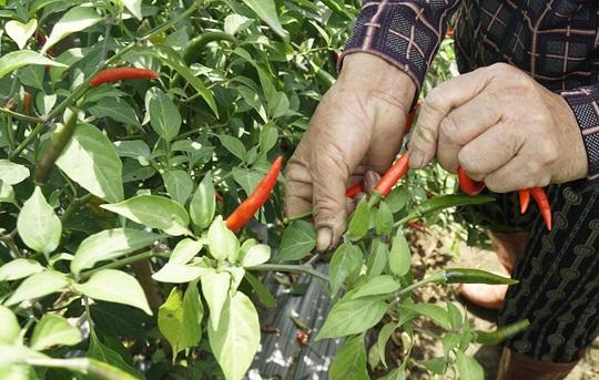 Giá ớt tiếp tục rơi tận đáy, người nông dân bỏ mặc ruộng ớt chín cây - Ảnh 3.
