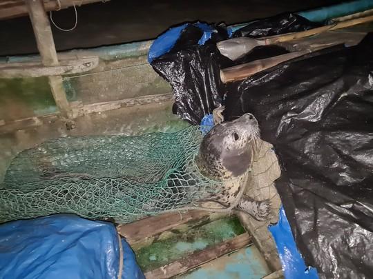 Hải cẩu quý hiếm bất ngờ xuất hiện ở biển Quảng Nam - Ảnh 1.