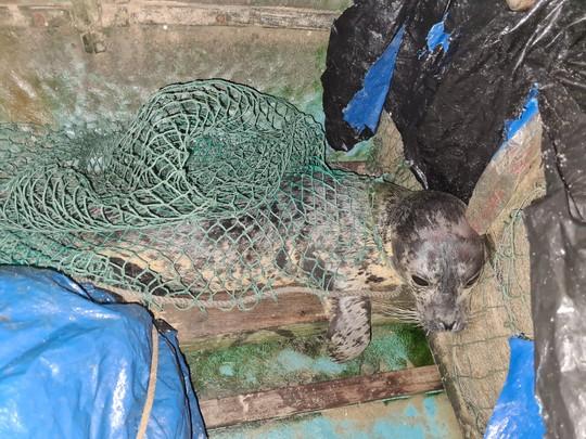 Hải cẩu quý hiếm bất ngờ xuất hiện ở biển Quảng Nam - Ảnh 2.