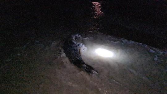 Hải cẩu quý hiếm bất ngờ xuất hiện ở biển Quảng Nam - Ảnh 6.