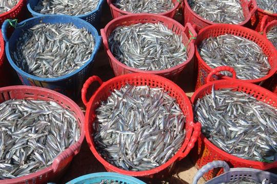 Ngư dân Bình Thuận trúng mùa cá cơm - Ảnh 6.