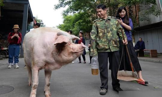Trư Kiên Cường - con heo nổi tiếng nhất Trung Quốc qua đời - Ảnh 3.