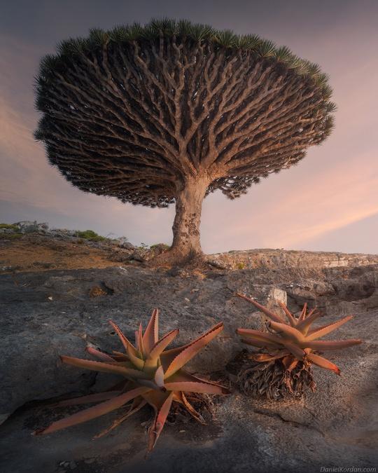 Cây máu rồng ở hòn đảo ngoài hành tinh - Ảnh 5.