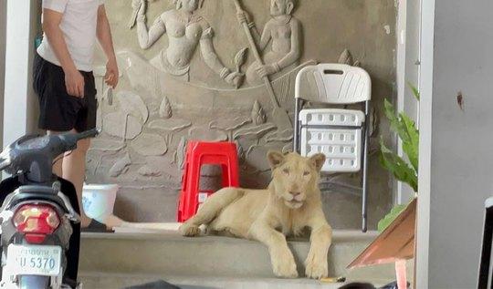Cái kết của người Trung Quốc khoe thú cưng sư tử trên TikTok - Ảnh 1.