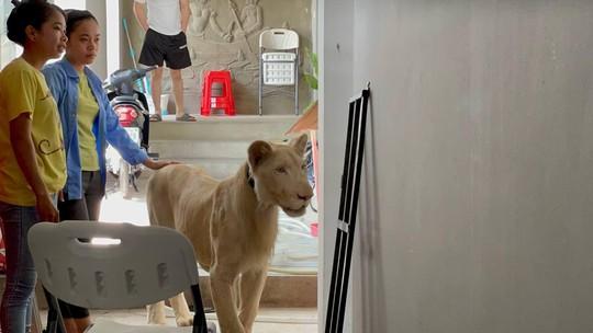Cái kết của người Trung Quốc khoe thú cưng sư tử trên TikTok - Ảnh 3.